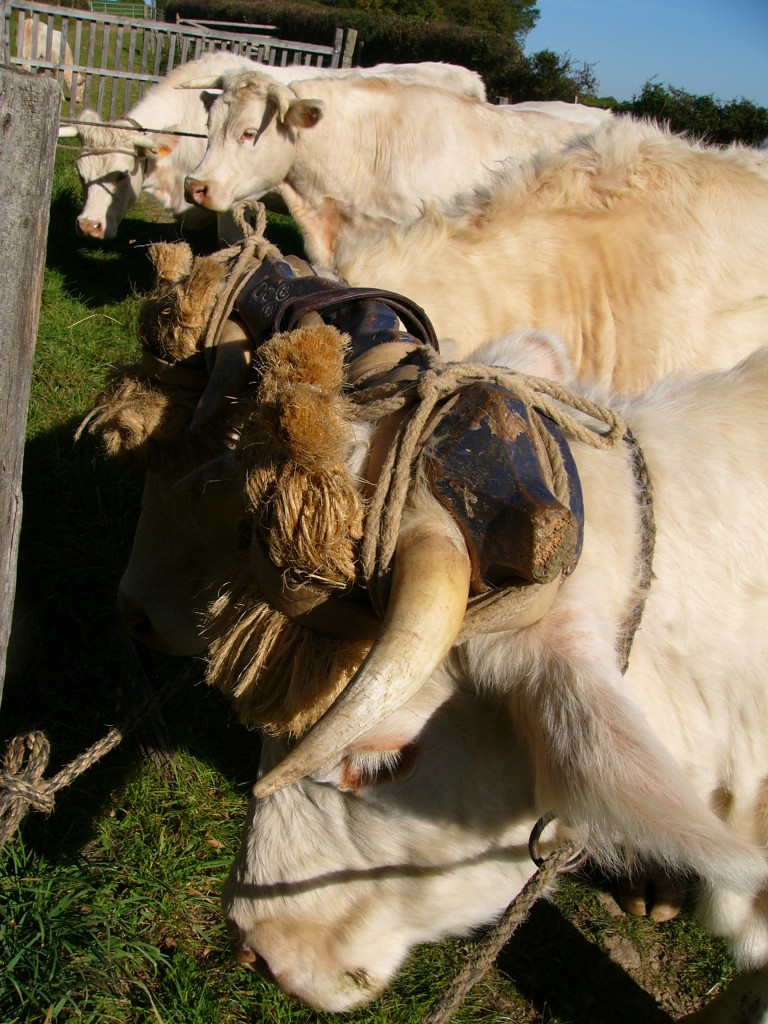Un blog sur les attelages bovins d'aujourd'hui pour quoi faire? dans Le blog des attelages bovins d'aujourd'hui photo-011