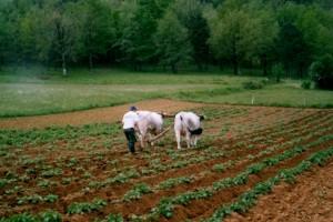 le-labour-2rec-300x200 dans Les bovins attelés dans les fermes aujourd'hui