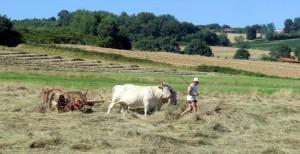 vaches lourdaises francis bazerque 2014 2 ok