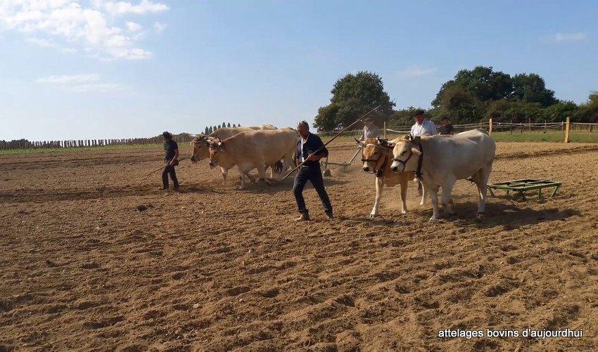 fête  2018 de la vache Nantaise (59)