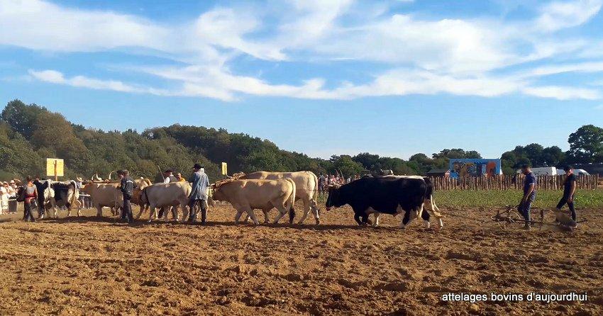 fête  2018 de la vache Nantaise (84)